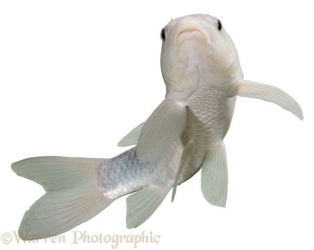 White Koi carp, white background