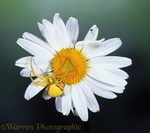 Crab Spider (Misumena vatia) yellow form on Ox-eye Daisy (Leucanthemum vulgare).  Europe