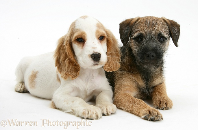 Orange roan Cocker Spaniel bitch pup, Blossom, with Border Terrier bitch pup, Kes, white background