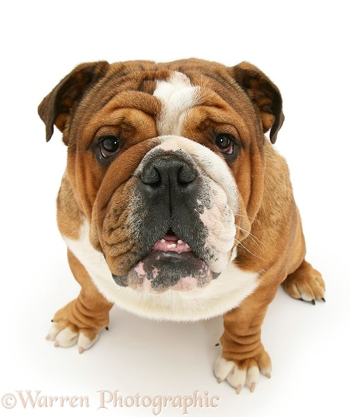 Bulldog, white background