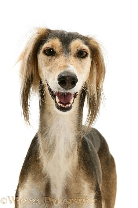 Smiley Saluki portrait, white background
