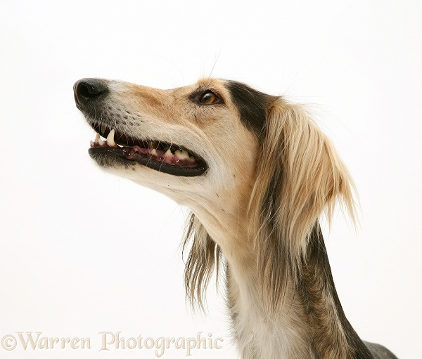 Saluki, white background