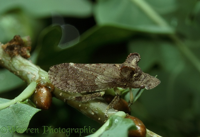 Eared Leaf-hopper (Ledra aurita) on oak.  Europe