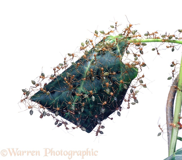Green Tree Ants (Oecophylla smaragdina) workers protecting nest inside folded leaf.  Australia, white background