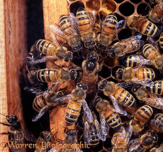 Honey Bee (Apis mellifera) queen surrounded by workers as she lays an egg in a cell at the edge of the comb.  Worldwide