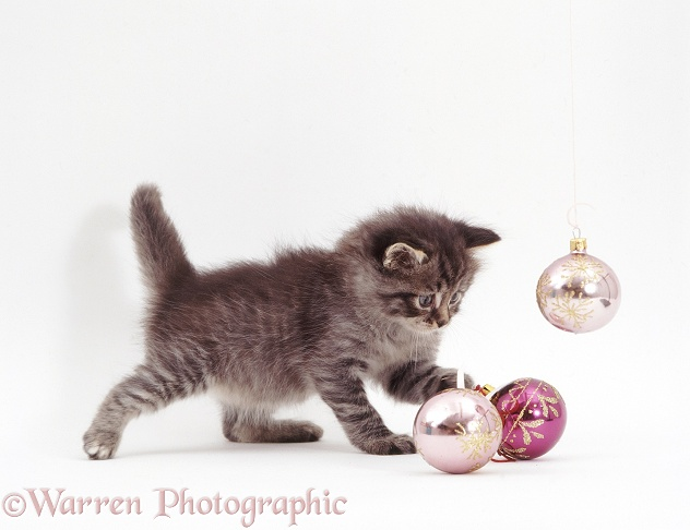 Silver tabby kitten playing with Christmas baubles, white background