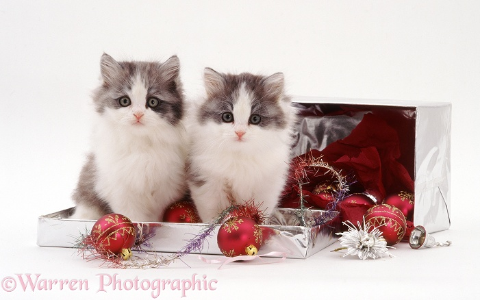 Two silver-and-white kittens and Christmas baubles in a silver box, white background