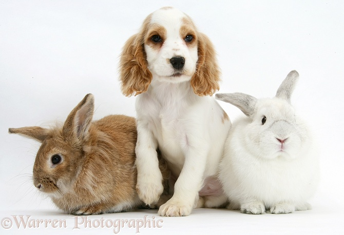 Orange roan Cocker Spaniel pup, Blossom, with sandy Lionhead-cross rabbit, Tedson, and white rabbit, Foggy, white background