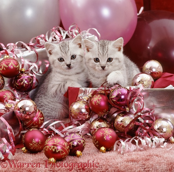 Silver spotted kittens, 6 weeks old, with Christmas baubles and decorations on Twelfth Night