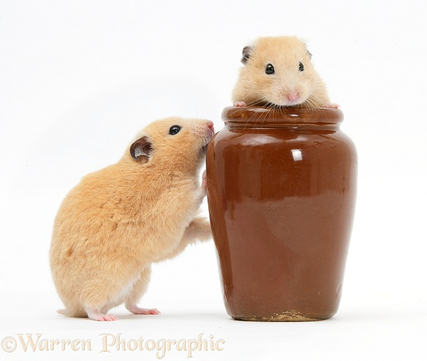 Golden Hamsters playing with a china pot, white background