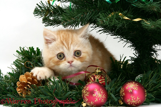 ginger kitten playing with a christmas tree photo wp18104