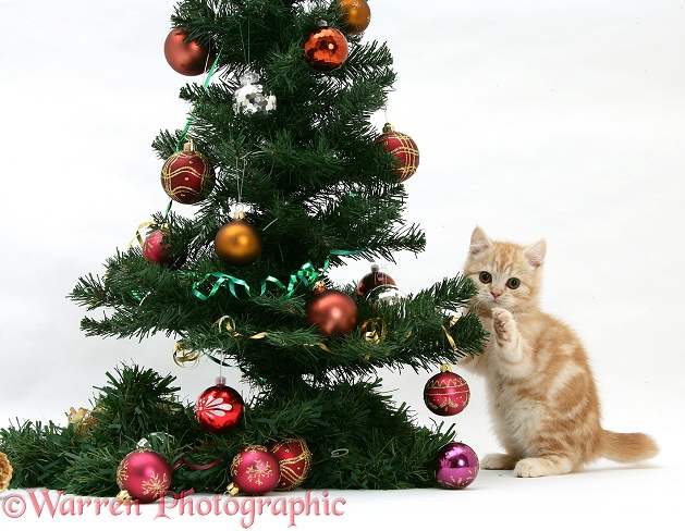 Ginger kitten playing with a Christmas tree, white background