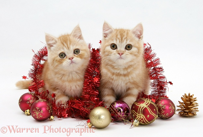 Ginger kittens with red tinsel and Christmas baubles, white background