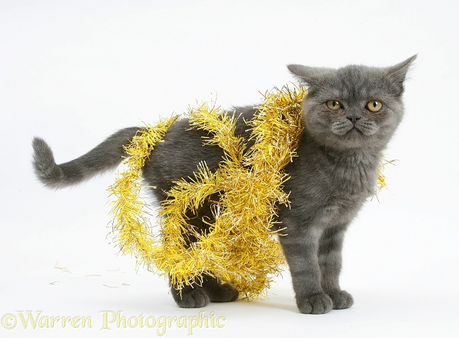 Grey kitten with yellow tinsel, white background