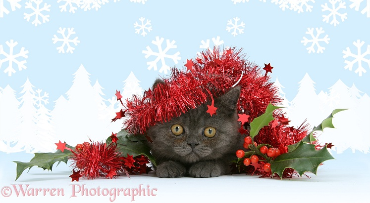 Grey kitten with tinsel and holly berries, white background