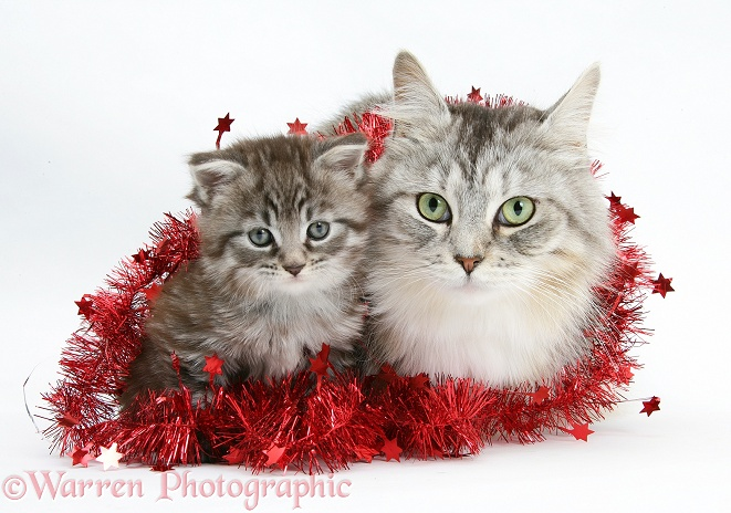 Maine Coon cat, Bambi, and kitten, Goliath, with tinsel, white background