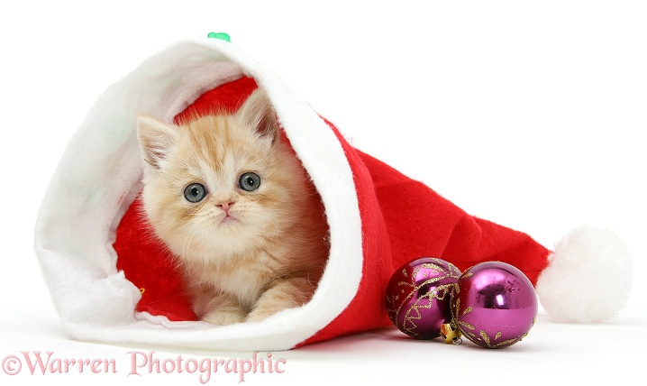 Ginger kitten inside a Father Christmas hat, white background