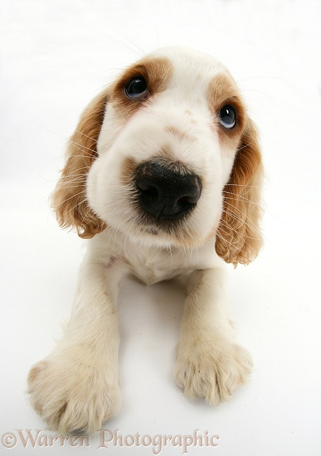 Orange roan Cocker Spaniel pup, Blossom, white background
