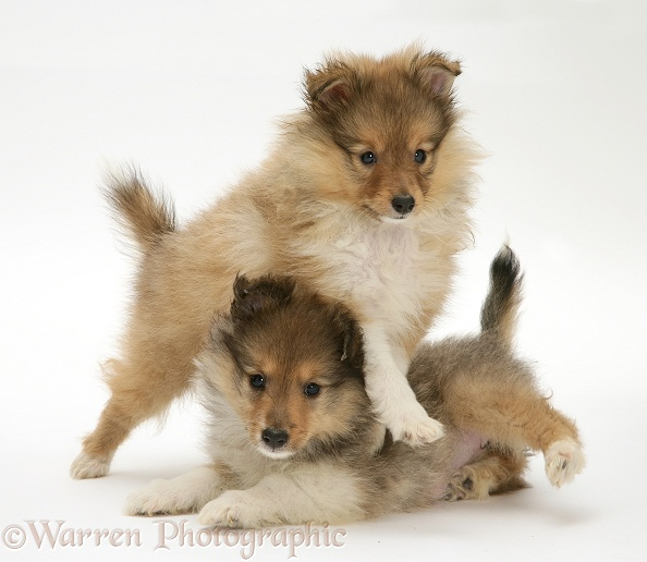 Sable Shetland Sheepdog pups play-fighting, white background