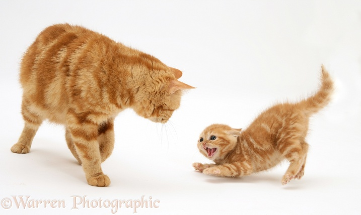 Red tabby British Shorthair mother giving one of her kittens a bit of a fright, white background