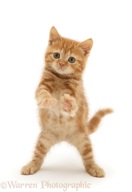 Red tabby kitten reaching out, white background
