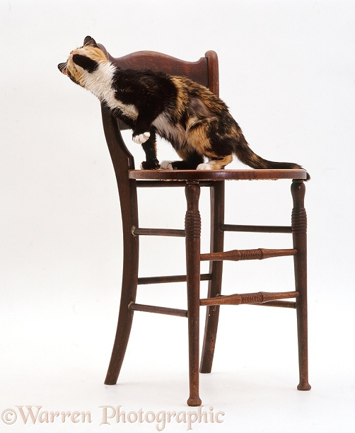 Tortoiseshell cat, Tortie-toes, head-rubbing on the back of a cello chair, white background