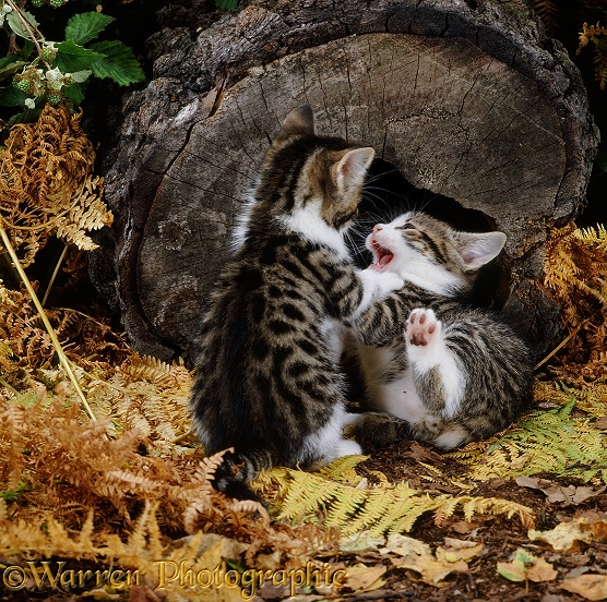 Feral tabby kittens, 6 weeks old, playing outside their hollow log nursery