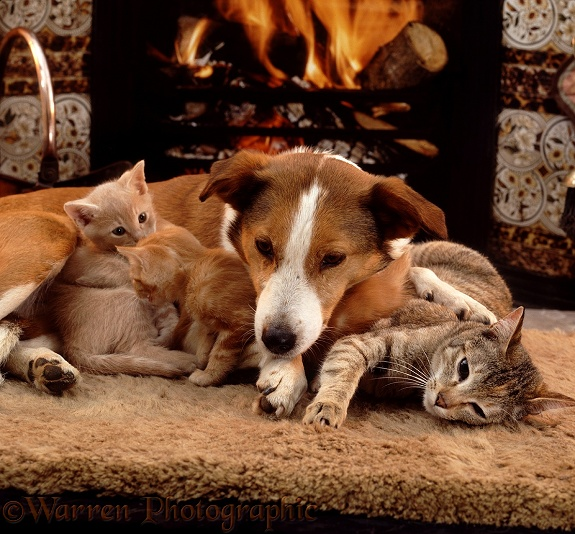 Tabby cat, Dainty, and her two kittens with Border Collie, Fan, in front of a fire