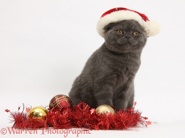Grey kitten with tinsel and wearing a Father Christmas hat, white background