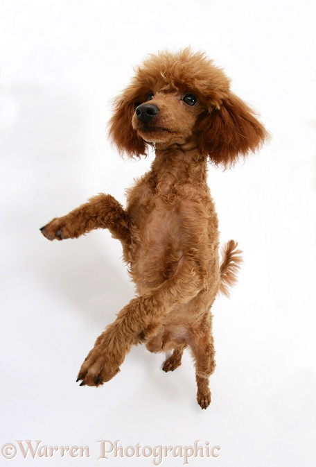 Red Toy Poodle, Reggie, standing on hind legs with paws raised, white background