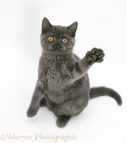 Grey kitten sitting up with paw raised, white background