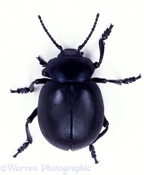 Bloody-nosed Beetle (Timarcha tenebricosa).  Europe, white background