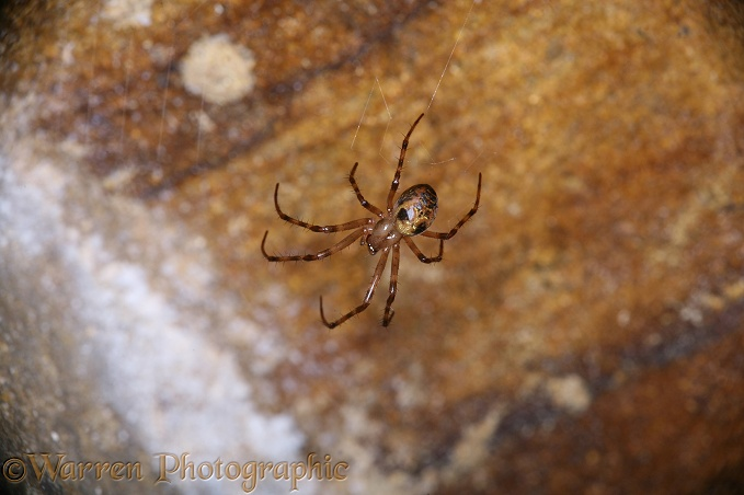 Cave spider in sandstone cave