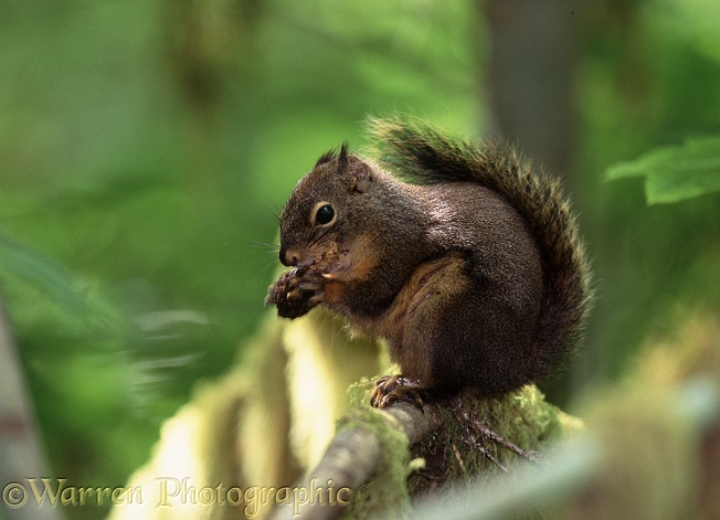 Douglas Squirrel (Tamiasciurus douglasii) feeding on Douglas Fir cone.  N America