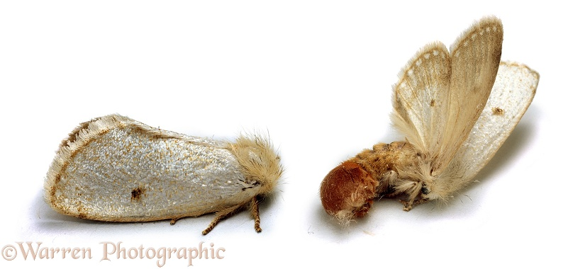 Yellow-tail moth (Notodontidae) at rest and in defensive posture when disturbed, white background