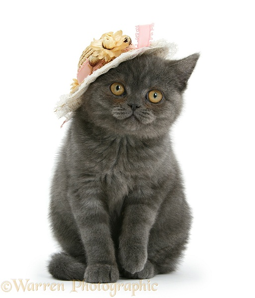 Grey kitten with a straw hat on, white background