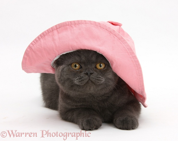Grey kitten wearing a pink floppy hat