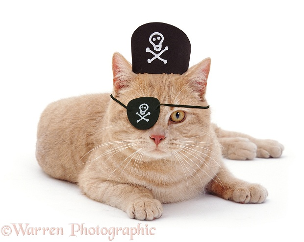 Ginger cat with pirate hat on, white background