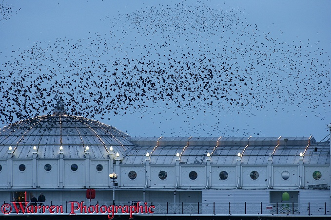 European Starlings (Sturnus vulgaris) flying to roost at dusk on a seaside pier.  Worldwide