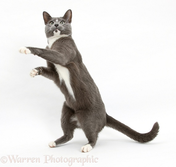 Blue-and-white Burmese-cross cat, Levi, standing and reaching up, white background