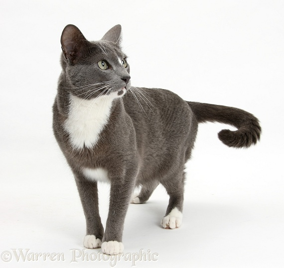 Blue-and-white Burmese-cross cat Levi standing, white background