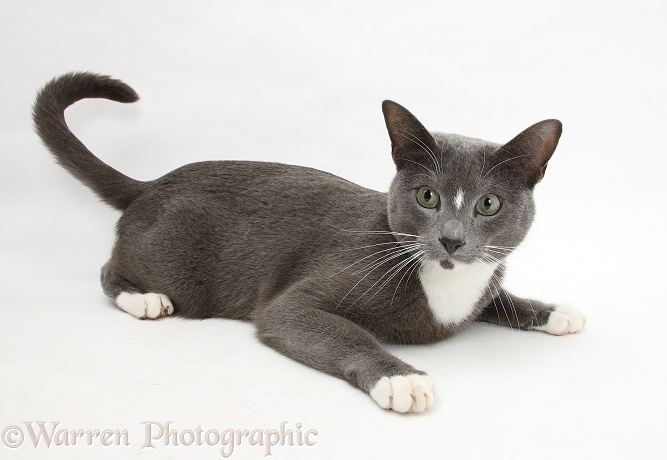 Blue-and-white Burmese-cross cat, Levi, lying head up, white background