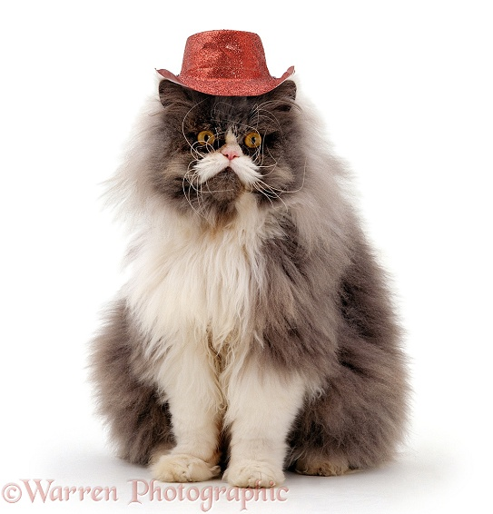 Blue bicolour Persian male cat, Cobweb, wearing a cowboy hat, white background