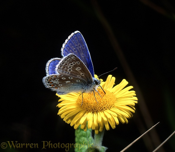Common Blue Butterfly (Polyommatus icarus) male feeding on Fleabane (Pulicaria dysenterica).  Europe