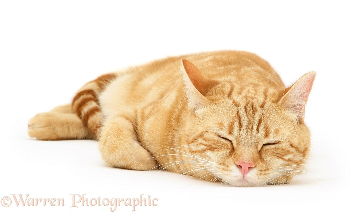 Ginger cat, Benedict, asleep, white background