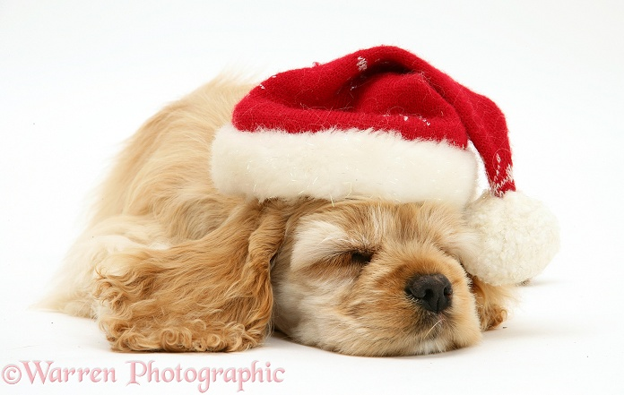 Buff American Cocker Spaniel pup, China, 10 weeks old, asleep with Father Christmas hat on, white background