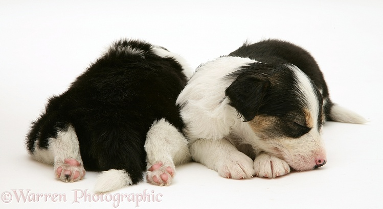 Tricolour Border Collie pups, 5 weeks old, asleep, white background