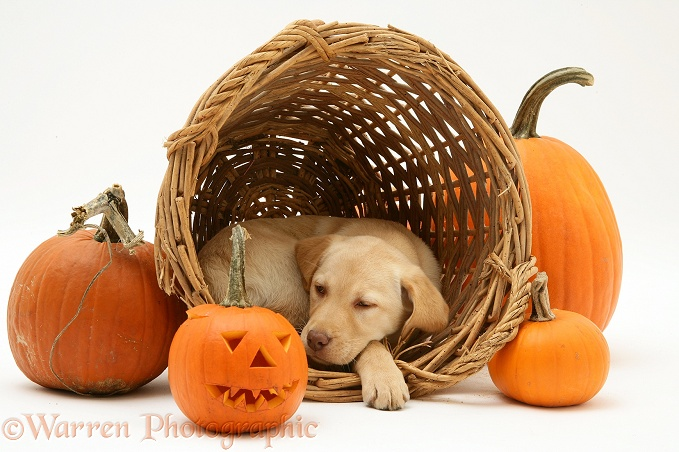 Sleepy Yellow Retriever pup with wicker basket and pumpkins at Halloween, white background