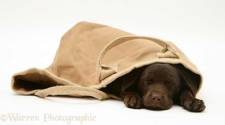 Chocolate Retriever pup asleep in a cloth bag, white background