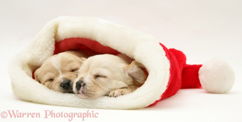 Dogs Westie X Cavalier Pups In A Santa Hat Photo Wp18292